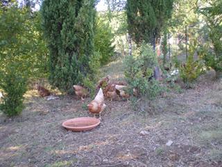 les poules dans leur jardin